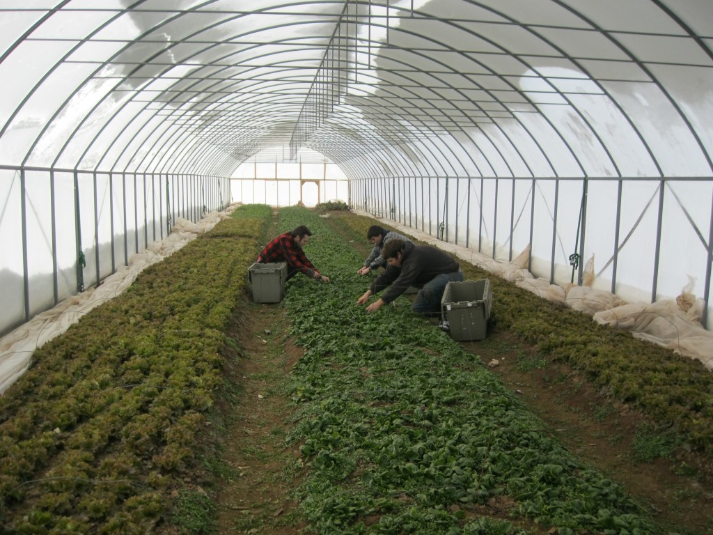 Harvesting crops in the winter months from the High Tunnel.