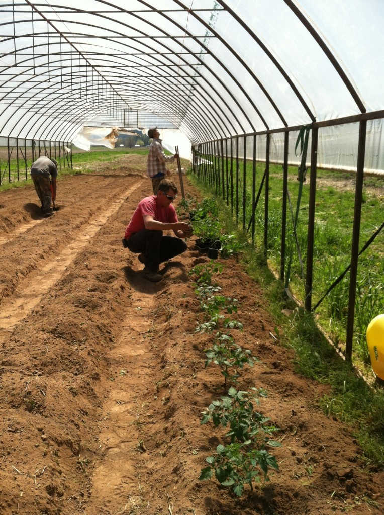 High Tunnel tomato planting