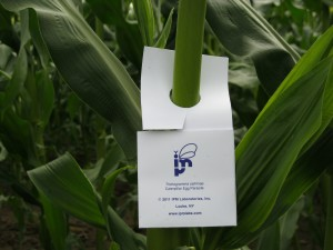 IPM Wasps in corn