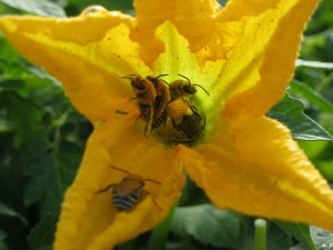Peponapis Bees in squash blossoms