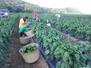 Members of the 6th and 7th Barber generation picking peppers.